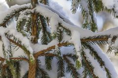 Close-up shot of pine tree branche with green needles covered wi royalty free stock images