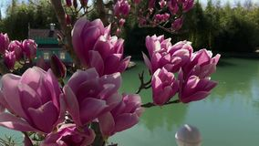 Close up shot of the flowering flowers of magnolia, the tree is near the lake. Close up shot of the pink flowers of the tree, a magnolia blossoms near a small stock footage