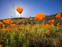 Close up shot of poppy flower blossom at Diamond Valley Lake. California royalty free stock photos
