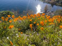 Close up shot of poppy flower blossom at Diamond Valley Lake. California stock photography