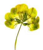 Close up shot of pressed yellow flower Royalty Free Stock Image