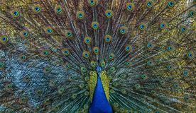 Close-up shot of a puffed peafowl. Close-up shot of a colourful puffed-up peafowl with shiny feathers royalty free stock photos