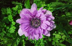 Close up shot of purple flower on the green field royalty free stock photo