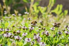 Close up shot of purple wild flower blossom with a busy bee Royalty Free Stock Photography