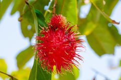 Close-up shot of a Rambutan tropical fruit in the tree Stock Images