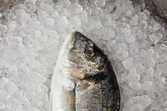 Close-up shot of raw gilt-head bream on crushed ice royalty free stock photos