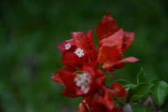 Red bougainvillea flowers in the rain stock photo