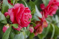 Close up shot of a red Camellia blossom with a bee working. Close up shot of a red Camellia blossom with a bee at Los Angeles, California royalty free stock photos