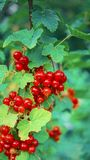 Close up shot of red currant berries. Close shot red currant berries stock photos