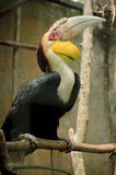 Wreathed Hornbill Royalty Free Stock Photo