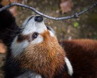 Red panda or lesser panda looking up in the sky. Close up shot. Close up shot of a red panda looking upward towards a twig stock images