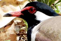 A close up shot of a red wattled lap wing Royalty Free Stock Photography