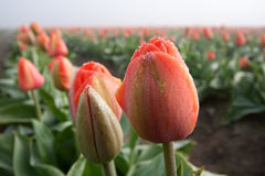 Close up shot of red yellow tulip. Close up shot of dew covered tulip on the field of tulips Royalty Free Stock Photo