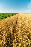 Close-up shot of ripe wheat field alongside of green soybean field. Stock Image