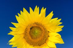 Close up shot of rising sunflower head with a bee Royalty Free Stock Photography