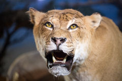 Close-up shot of roaring lion. In nightlife Stock Photography