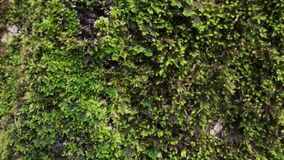 Fresh green moss growing. Close up shot of a rock fully covered with moss and leafs outdoor. Bright and beautiful nature. Forests stock footage