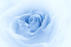 Close-up shot of a rose. Bud with water drops on petals (toned in blue Royalty Free Stock Photo