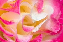 Close up shot of rose white pink and yellow from side. White pink and yellow rose macro Stock Images