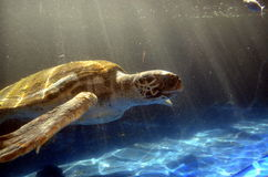 Close up shot of a sea turtle swimming in the sea. Stock Image