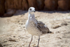 Close up shot of a seagull Royalty Free Stock Image