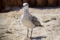 Close up shot of a seagull Stock Images