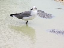 Seagull standing in shallow water. Close-up shot of a seagull standing in a small body of water and looking backwards stock image