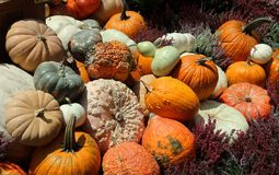 A display of different types of pumpkins for Halloween royalty free stock photography