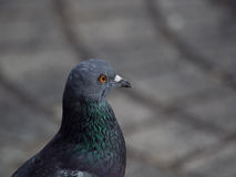 Close up shot on the side of a rock dove pigeon bird focus only Stock Photography