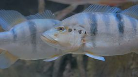 Close up shot of silver fish. Animals and nature concept stock video
