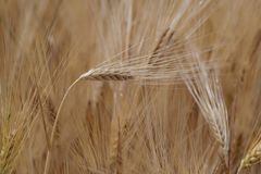 Close up shot of a single cereal plant against the plantation. Germany stock photo