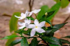 Close up shot of small beautiful white crape jasmine flowers stock image