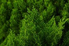 Close up shot of small pine shoot Royalty Free Stock Photos