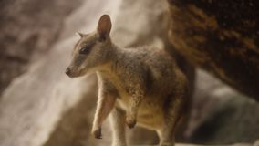 Close up shot of a small Swamp Wallaby on a rock. A close up shot of a small Swamp Wallaby standing on top of a rock. The Swamp Wallaby is surrounded by big rock stock footage
