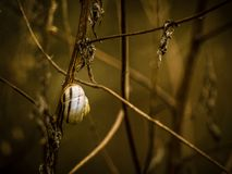 Snail on decaying plant. Close up shot of a snail living on a decaying plant with somber tones royalty free stock images