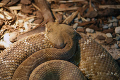 A close-up shot snake python Royalty Free Stock Photo