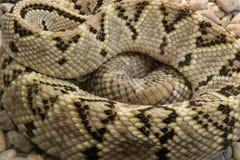 A close-up shot snake python Royalty Free Stock Photography