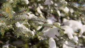 Close up shot of snow-covered fir-tree, which is covered with snow. stock video