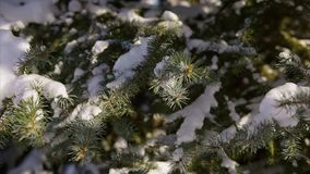 Close up shot of snow-covered fir tree on which snow-white snow lies. stock video footage