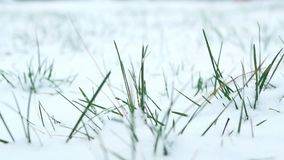 Close up snow grass. Close up shot of snow on a tiny blade of grass stock video footage