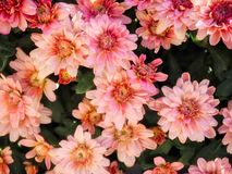 Beautiful Pink Chrysanthemum Flowers In The Garden. A close up shot of some pretty pink chrysanthemum flowers in the garden in natural sunlight Royalty Free Stock Images