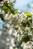 Spring times - Flowering cherry tree. Close-up shot of a sour cherry tree. Highly depicted. High resolution Royalty Free Stock Image