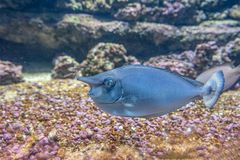 Close up shot of spotted unicornfish swimming over coral reef stock image