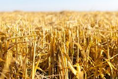 Straw of ripe wheat Stock Photos