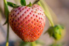 Close up shot strawberry Royalty Free Stock Images