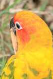 Close up shot of Sun conure beautiful colorful parrot. Royalty Free Stock Images