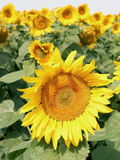 Close up shot of sunflower. Royalty Free Stock Photos