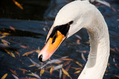 Close up shot of a swan in the lake Royalty Free Stock Image
