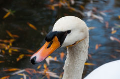 Close up shot of a swan in the lake Royalty Free Stock Images