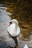 Close up shot of a swan in the lake Royalty Free Stock Photo